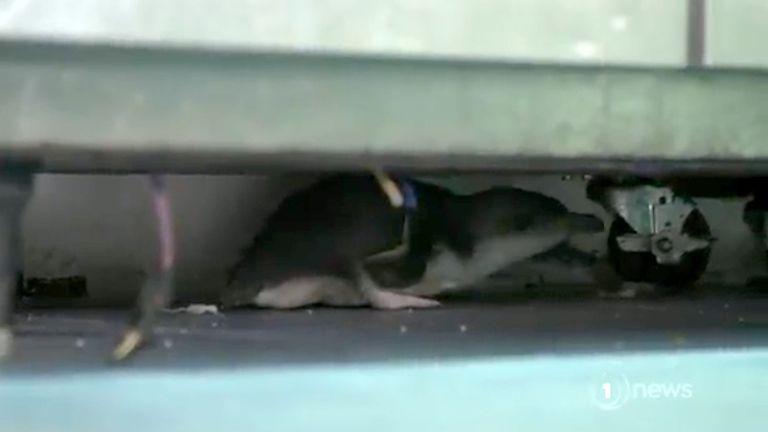 Penguins make home in sushi shop. Pic: TVNZ