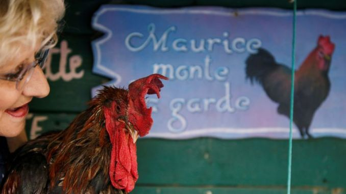Maurice is allowed to crow as much as he wants after the ruling