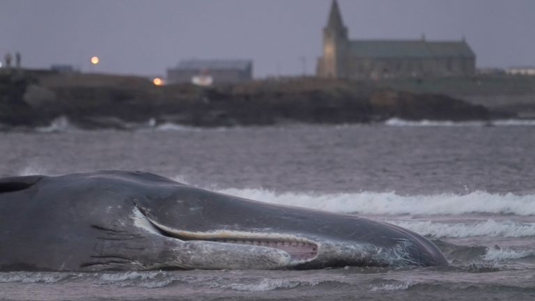 The body of the Sperm Whale washes up at Newbiggin-by-the-Sea in Northumberland. PA Photo. Picture date: Friday October 11, 2019. Sperm whales, the largest of the toothed whales, are not often seen in the North Sea as it lacks the giant and colossal squid they would usually feed on, which are to be found in more tropical waters. Photo credit should read: Owen Humphreys/PA Wire