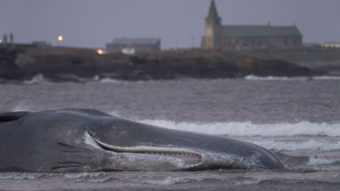 The Sperm Whale's body is washed at Newbiggin-by-the-Sea in Northumberland. PA Photo. Date of the photo: Friday, October 11, 2019. Sperm whales, the largest of the toothed whales, are not often seen in the North Sea because they lack the gigantic giant squid they usually feed on, which is the most common species. it is found in more tropical waters. . The photo credit should read as follows: Owen Humphreys / PA Wire