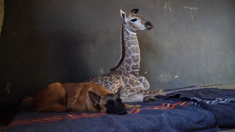 A dog in South Africa has befriended a baby giraffe that was abandoned at birth, rescued and taken to a local orphanage