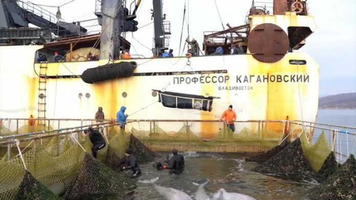 Russia says it has completed its operations to release the last of the whales caught in the wild