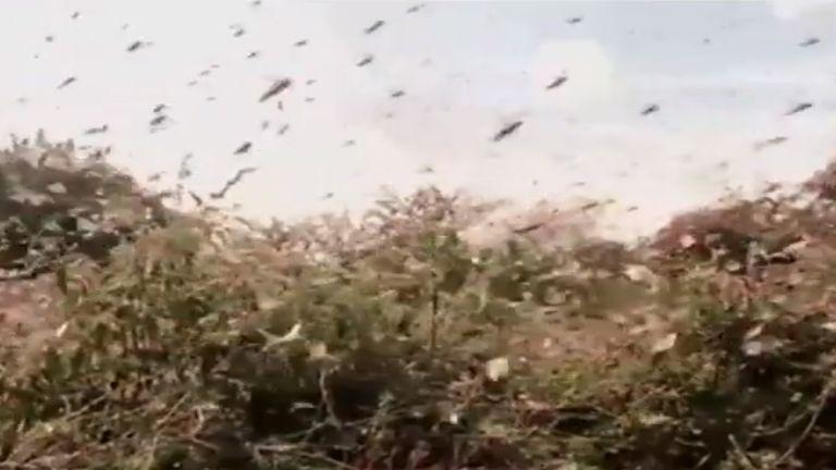 Кения переживает худшее заражение саранчой за более чем 70 лет