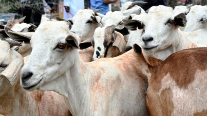 Goats look on, as men wait to buy them in Nairobi