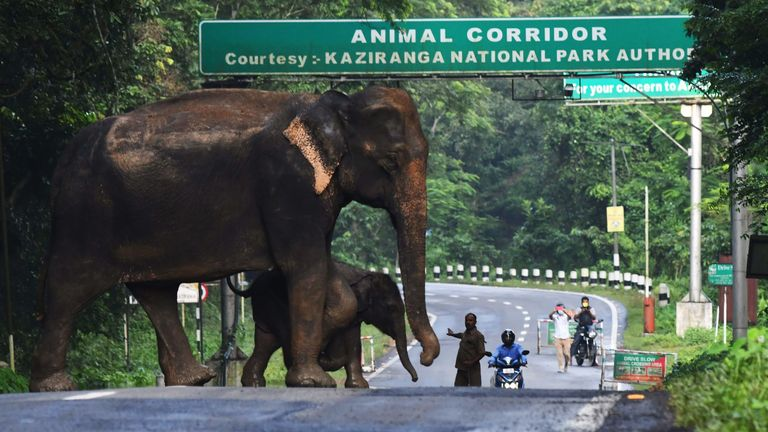 A wild elephant and a calf cross a road at the flood affected Kaziranga National Park