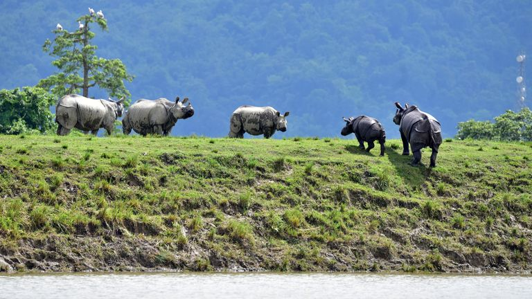 One-horned rhinos move to higher ground in a flood-affected area of Kaziranga National Park in Assam