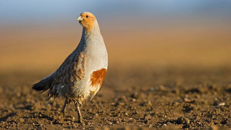 Grey partridge populations have declined in the UK
