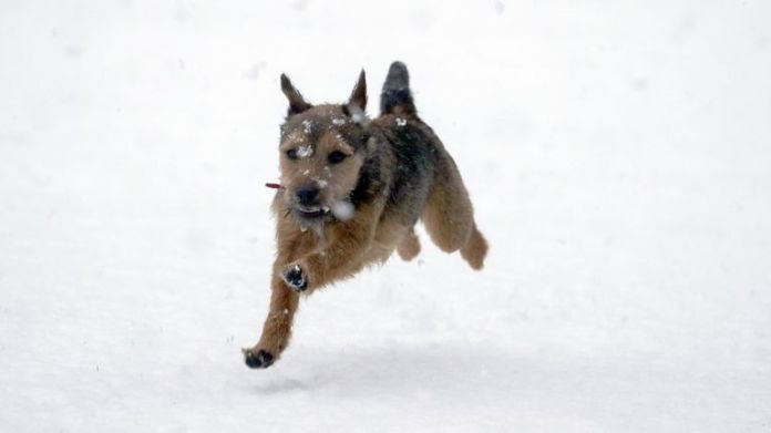Winston, an eight-month-old Border Terrier, enjoys the snow for the first time near Windsor