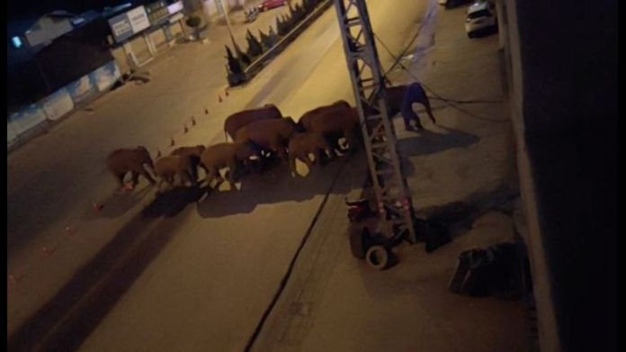 The herd has  been spotted spotted in urban areas. Pic: Eshan County Fang Yuan Car Care Center/ via Reuters