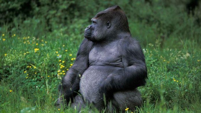 Gorilla, gorilla gorilla, Silverback Adult Male sitting on Grass (Gerard Lacz / VWPics via AP Images)