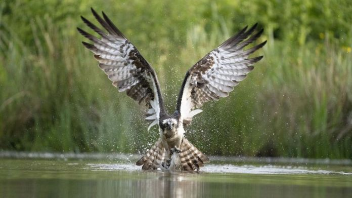 Undated handout photo issued by the National Geographic of an osprey catching a fish in Avimore, Scotland. The image, taken by Hari Kumar Prasannakumar, was the runner-up in the wildlife category at the National Geographic Traveller (UK) Photography Competition 2021. Issue date: Tuesday October 5, 2021.