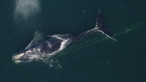 A North Atlantic right whale tangled in fishing gear off the coast of Daytona Beach, Florida.