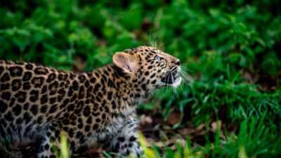 An Amur leopard, one of the world's most endangered big cat species, at a zoo in Lyon, France. As of 2019, there were just 90 of these leopards left in the wild.