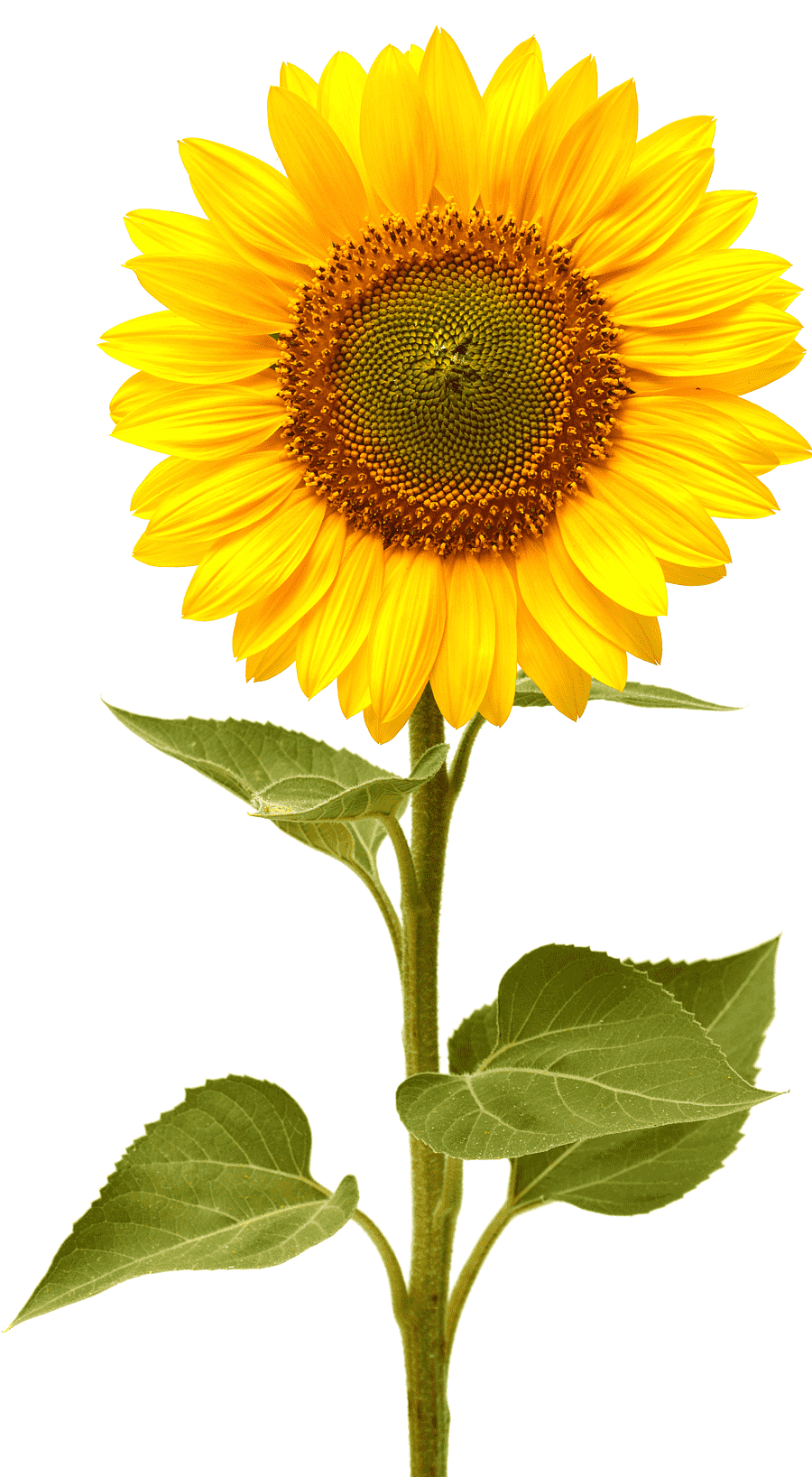 Common Sunflower Life Cycle Of A Sunflower This Is The Sunflower Sunflower Seed Sunflower Sunflower Plant Stem Png Pngegg