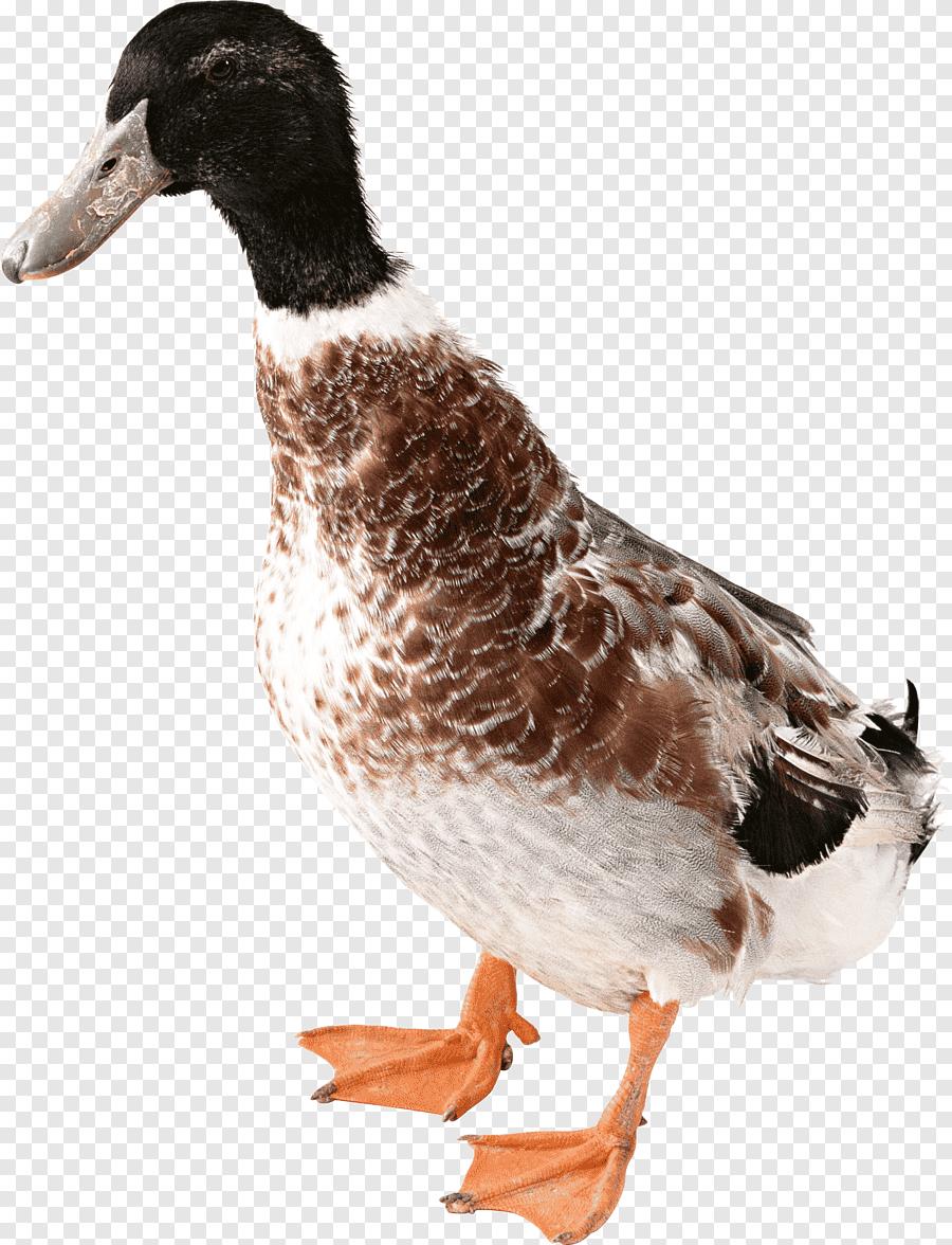 Gambar Bebek Png : gambar, bebek, Duck,, PNGEgg