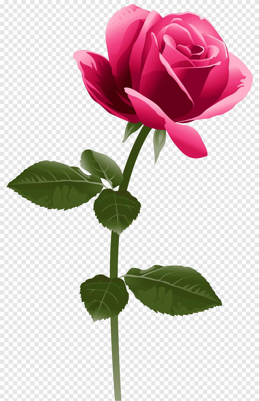 Bunga Mawar Pink Png : bunga, mawar, Flowers,, Fuchsia, Frame,, Herbaceous, Plant,, Plant, PNGEgg
