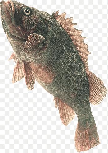Ikan Nila Png : Tilapia, Freshwater, Fish,, Animals,, Fauna, PNGEgg