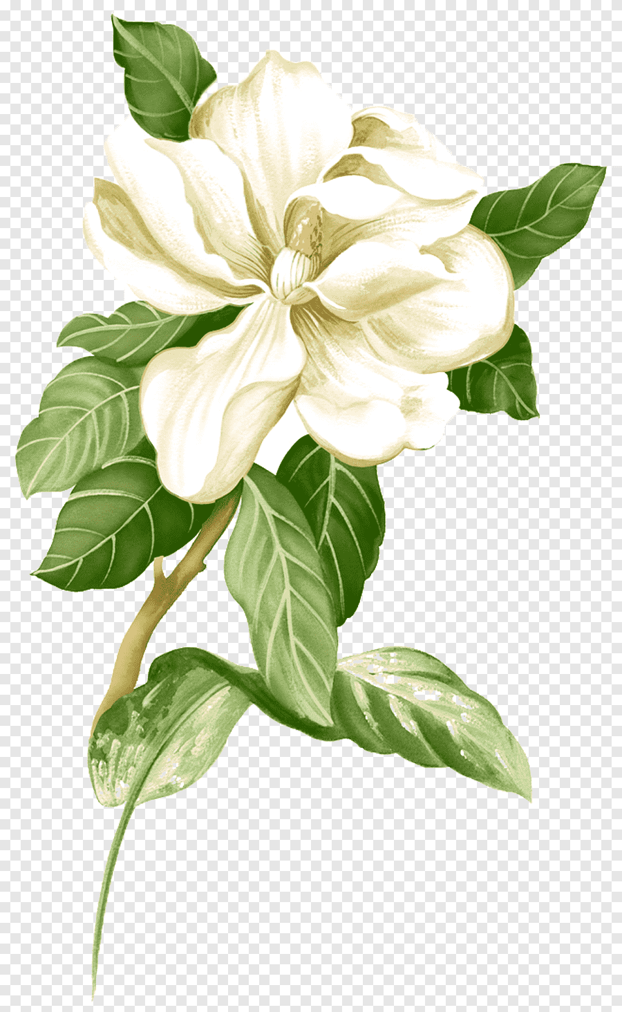 Magnolia Flower Png : magnolia, flower, Painted, White, Jasmine, Material,, Magnolia, Flower, Illustration,, Watercolor, Painting,, Arranging, PNGEgg