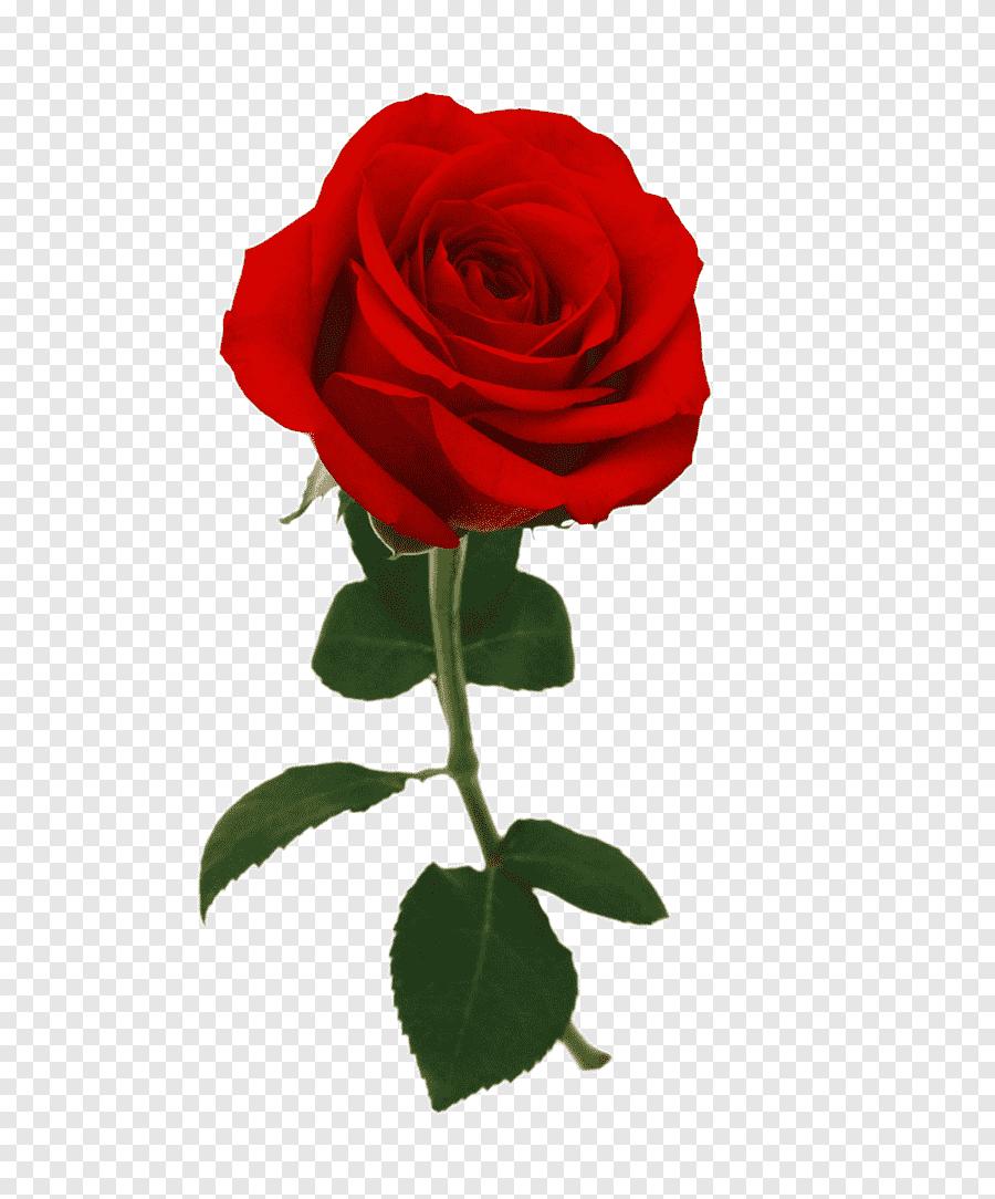 Tema Bunga Mawar Merah : bunga, mawar, merah, Closeup, Bunga, Mawar, Merah,, Gambar, Besar,, Kasih, Sayang, PNGEgg