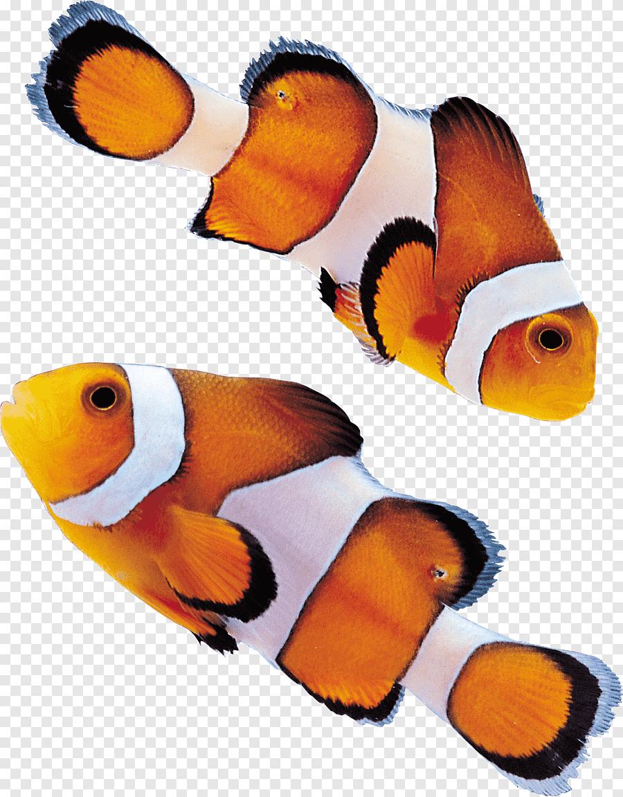 Ikan Hias Png : Ikan,, Hewan,, Makanan, PNGEgg