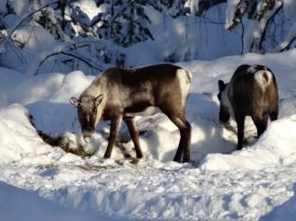 Wild reindeer feeding themselves
