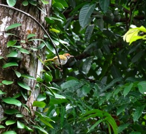 ...and this a dark-necked tailorbird?