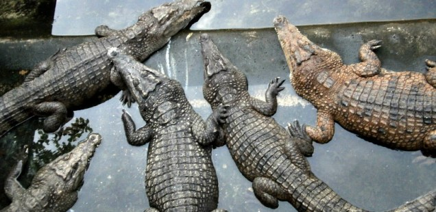 Crocodile Farm, Puerto Princesa