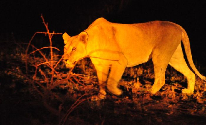 Kwa Maritane Bush Lodge: Where Lions Roam