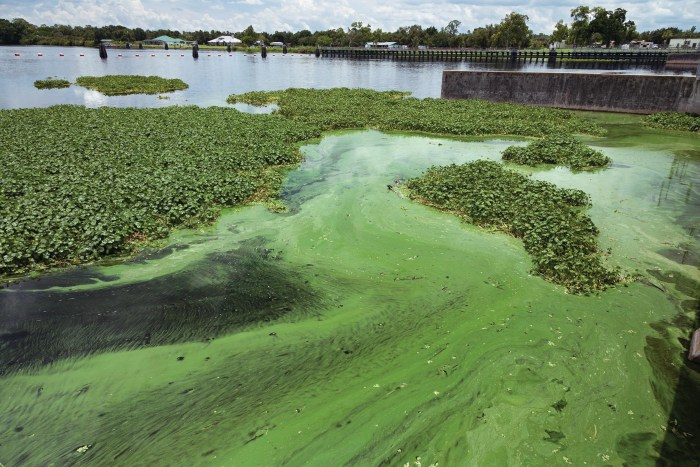 Seas of Green. Algae in the Caloosahatchee River beside the W.P. Franklin Lock and Dam in Alva, Florida, July 11, 2018. Environmental worry that legislation being pushed by Florida Senate President Bill Galvano to build three new toll roads will lead to suburban sprawl that exacerbates Florida's water quality problems. Photo courtesy of Greg Lovett/The Palm Beach Post/ TNS