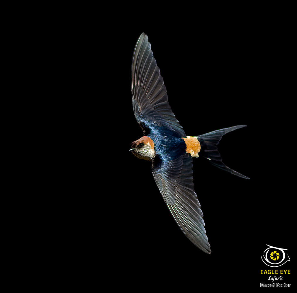 Gliding (Greater Striped Swallow)