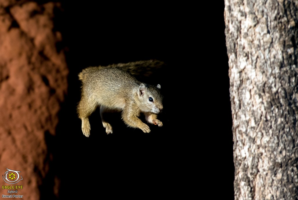 Spectacular Jump (Tree Squirrel)