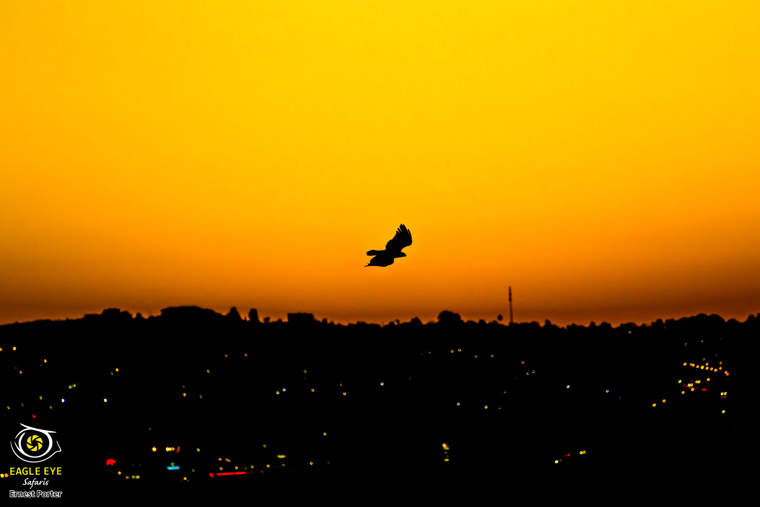 City eagle at sunset (Verreaux's Eagle)