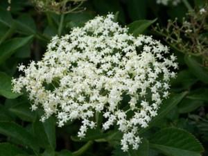Elder flower-Sambucus nigra)