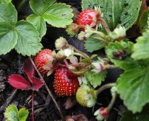 Marshall Strawberry from Bainbridge Island