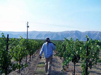 Jim Davis in the vineyard