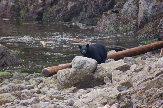 bear-on-shore