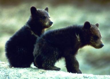 Black bear cubs Shenandoah