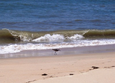 Shorebird on Hatteras Island beach