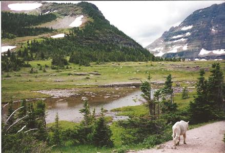 Rocky mountain goat walking in Glacier NP