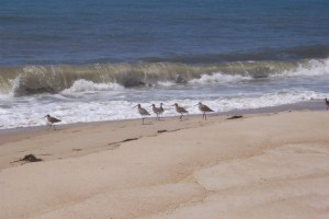 Killdeer birds on the beach
