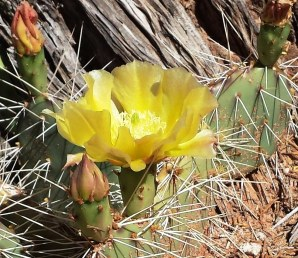 A prickly pear cactus at Mesa Verde NP with a yellow flower