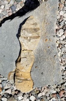 A part of a fossilized tree limb in limestone resembles a footprint