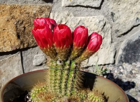 Six red flowers on a hedgehog cactuc