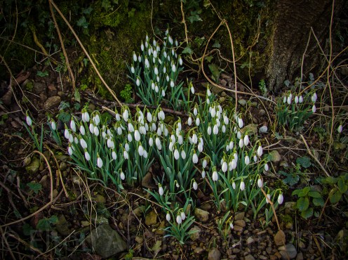 Snowdrops already starting to appear
