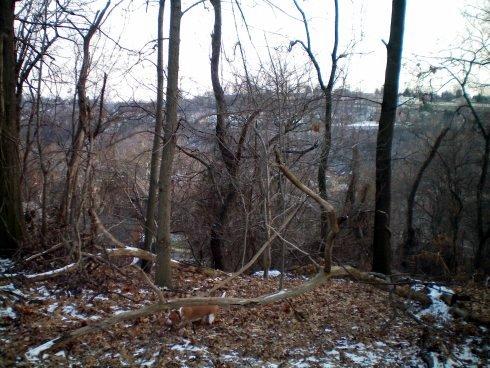 My lemon beagle Daedalus in the woods