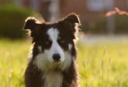 border-collie-700810_1280-web