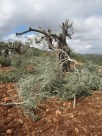 Israeli settlers cut the branches of 70 olive trees.