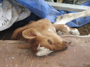 The family could not remove one of their calves in time before the structures were demolished. Photo EAPPI/K. Hodgson.