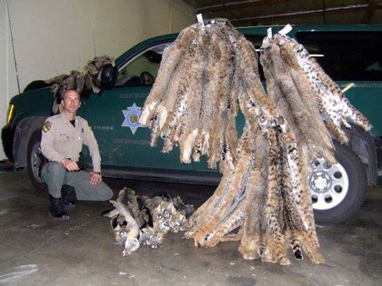 Northern California Man Fined for Poaching, Skinning 60 Bobcats, Foxes