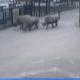 runaway rhinos